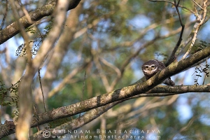 spotted-owlet-nadia-AB 1928