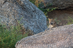 indian-leopard-rajasthan-AB 9910