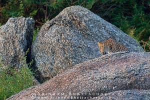 indian-leopard-rajasthan-AB 9830