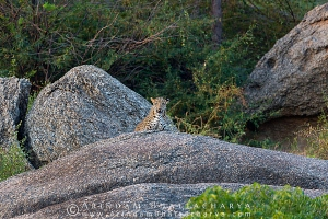 indian-leopard-rajasthan-AB 9808