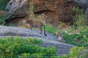 indian-leopard-rajasthan-AB 9658