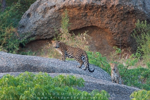 indian-leopard-rajasthan-AB 9622