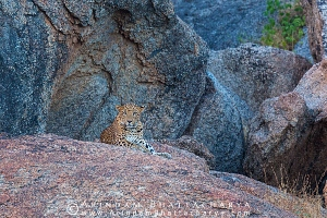 indian-leopard-rajasthan-AB 0670