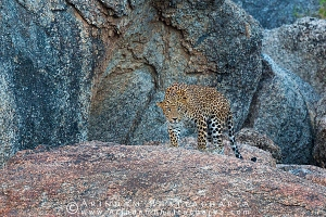 indian-leopard-rajasthan-AB 0638