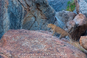 indian-leopard-rajasthan-AB 0617