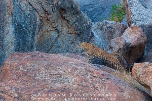 indian-leopard-rajasthan-AB 0612