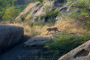 indian-leopard-rajasthan-AB 0262