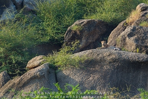 indian-leopard-rajasthan-AB 0190