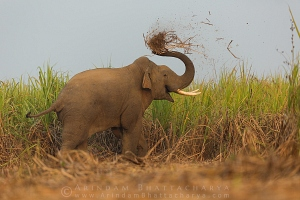 asian-elephant-westbengal-AB 5236