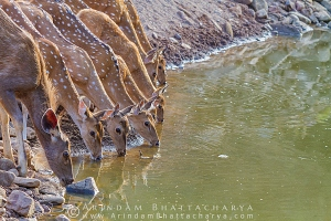 spotted-deer-ranthambore-AB 5721
