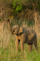 asian-elephant-corbett-AB 6996