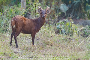 indian-hog-deer-kaziranga-AB 0705