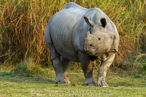 one-horned-rhino-kaziranga-AB 1688