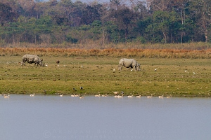 one-horned-rhino-kaziranga-AB 1604