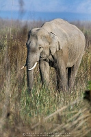 asian-elephant-corbett-AB 0044
