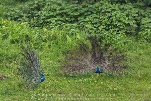 indian-peafowl-gorumara-AB 1344
