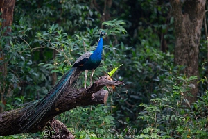 indian-peafowl-gorumara-AB 1368
