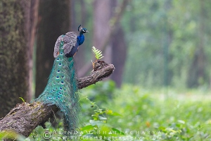 indian-peafowl-gorumara-AB 1432