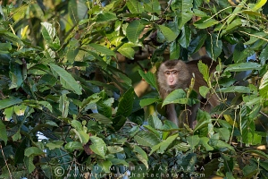 pig-tailed-macaque-gibbon-assam-AB 1818