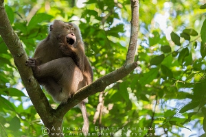 pig-tailed-macaque-gibbon-assam-AB 2659