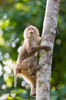 pig-tailed-macaque-gibbon-assam-AB 2696