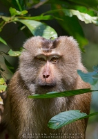 pig-tailed-macaque-gibbon-assam-AB 2784