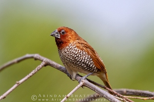 scaly-breasted-munia-pune AB 2392