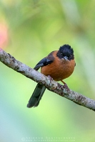rufous-sibia-sikkim-AB 6150