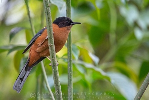 rufous-sibia-sikkim-AB 6525