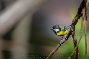 green-backed-tit-sikkim-AB 6172
