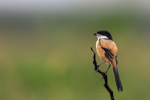 long-tailed-shrike-kolkata-AB 3957