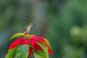 little-spiderhunter-latpanchar-AB 5646