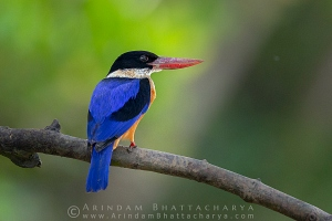 black-capped-kingfisher-Bhitarkanika AB 1089
