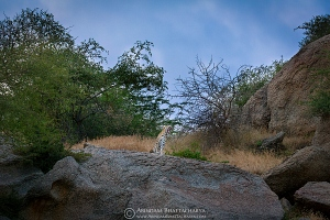 indian-leopard-rajasthan-AB 9480
