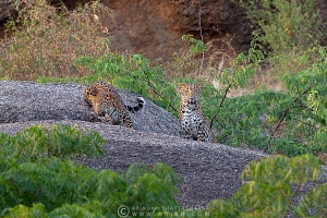 indian-leopard-rajasthan-AB 9689