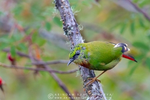 fire-tailed-myzornis-sikkim-AB 7648
