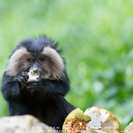 ENDANGERED LION-TAILED MACAQUE